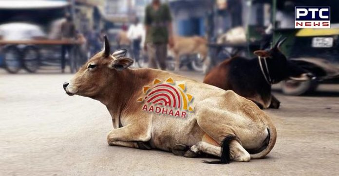 Civic Body To Use Aadhaar to Deal with Stray Cattle