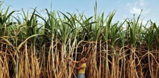 Cabinet Committee On Economic Affairs Approves Rs 5,500 Crore Package For Sugar Industry