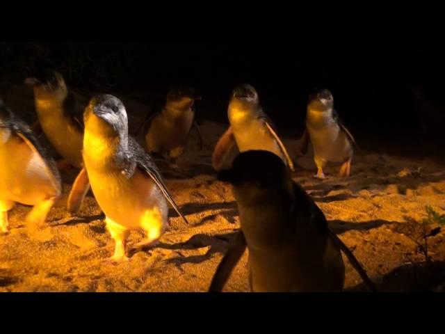 60 penguins
