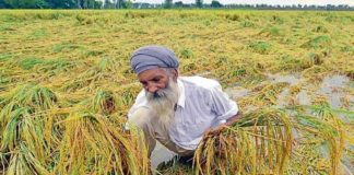 heavy rain paddy crop punjab agriculture
