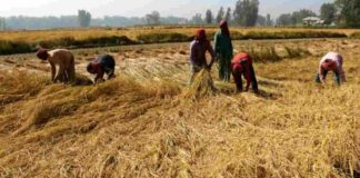 Govt mulls zero interest on timely crop loan repayment as new year gift
