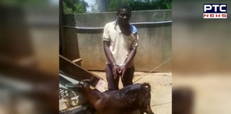 African Malawi goat Rape Police accused Red handed Arrested
