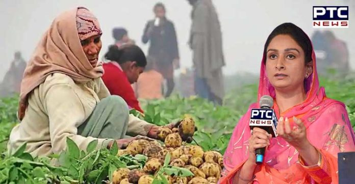 Congress government Potato farmers Parliament Captain place potatoes Sell : Harsimrat Badal