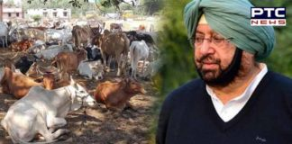 Capt Amarinder Singh stray cows Problems gaushalas 2.20 crores Approval