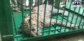 Leopard attacks 4 people in Uttar Pradesh