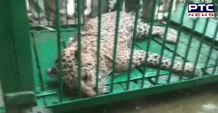 Leopard attacks 4 people in Uttar Pradesh