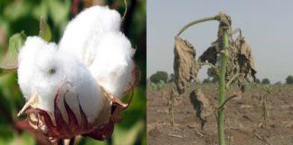 Punjab Rain And Hail Due Farmers Cotton Crops Damage