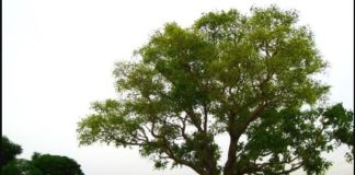 One Tree Due many people Save Life , Video viral