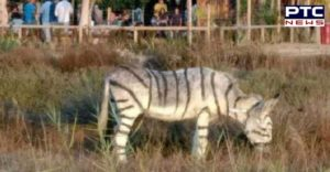 Spanish Town Two donkeys are painted like zebra