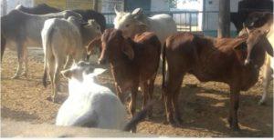 Uttar Pradesh Banda District Six stray cows Death truck Accident