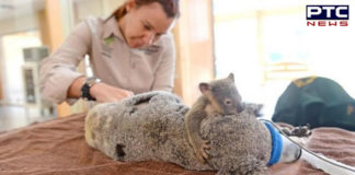 Australia forests Fire , Baby Koala Sticking mother during operation