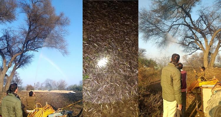 Locust Swarm Attack Punjab , Joint operation Fazilka District , PTC News