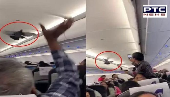 Pigeon Fly Inside flies inside Ahmedabad-Jaipur GoAir flight, Passengers Try To Catch Them