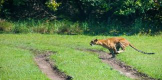 Leopard seen roaring in Nahan in broad daylight