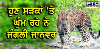 Cheetah spotted in Chandigarh sector 5