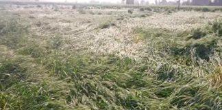 Haryana News | Special Girdawari of damaged crop in Haryana