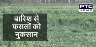 Haryana News | Unseasonal rain causes loss to crops