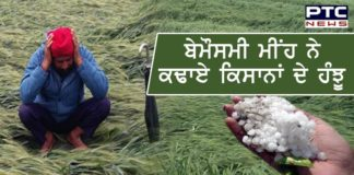 Punjab Rain । Punjab Farmers । Wheat crops । Punjab News
