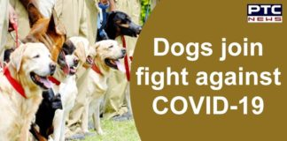 Labrador Dog Training to sniff out Coronavirus in the US | COVID-19 UK