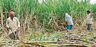 State government released Rs 169 crore for payment of sugarcane dues