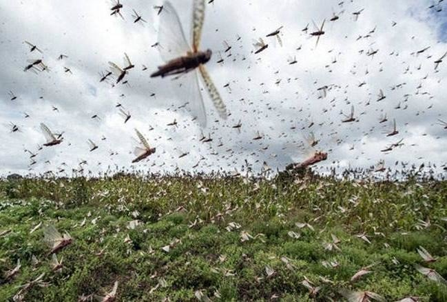 Fatehabad admin on alert after continuous Locust Attack in Rajasthan