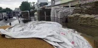 Thousands of quintals of wheat drenched in rain