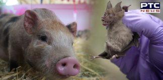 China New Swine Flu Virus Can Cause Pandemic | G4 EA H1N1
