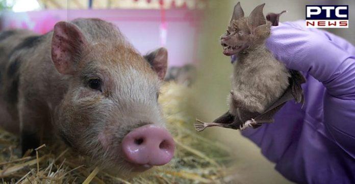 China New Swine Flu Virus Can Cause Pandemic   G4 EA H1N1