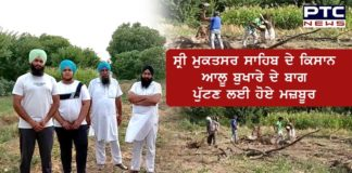 Sri Muktsar Sahib: Farmers forced to uproot plum orchards
