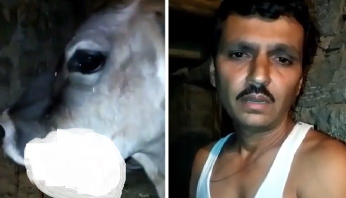 Explosive fed to pregnant cow, jaw bled | Himachal News