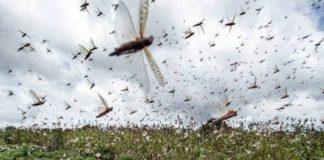 Locust attack in Gurugram | टिड्डी दल का हमला | Hindi News