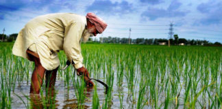Sowing of paddy started despite govt's encouragement not to sow paddy