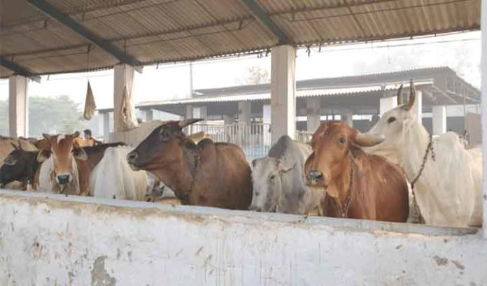 Efforts on to make Himachal stray cattle free Himachal