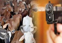 Cow smugglers firing on police team | Crime News Haryana