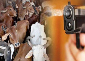 Cow smugglers firing on police team | Crime News Haryana