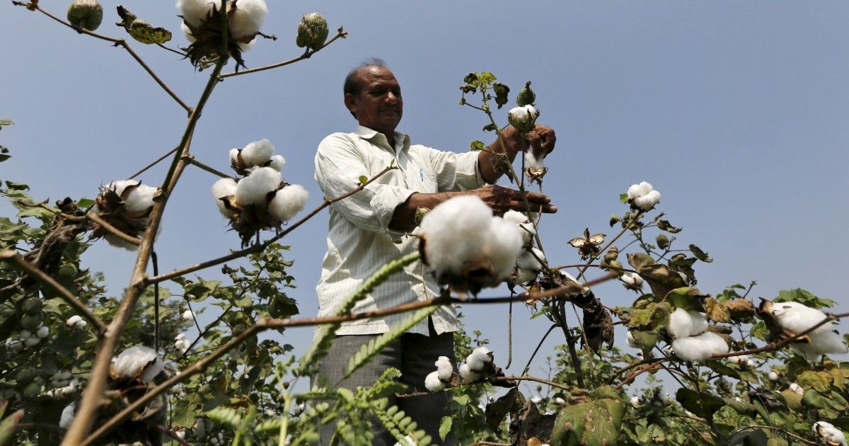 Haryana government will give compensation to cotton growers