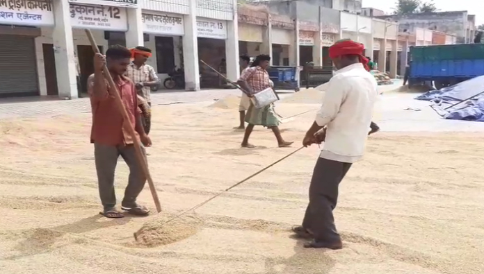 Paddy crop reached Mandi, Govt procurement will start from October 1 (2)