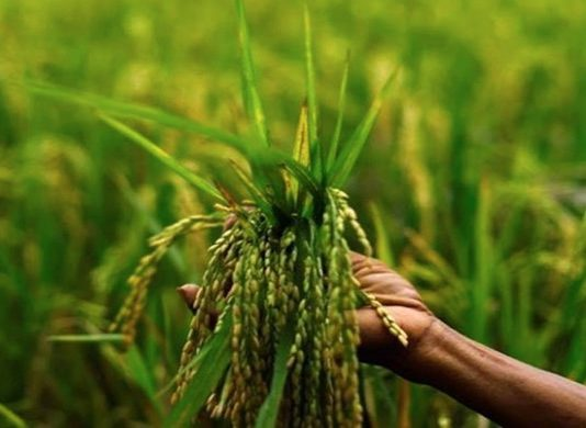 Centre asks to begin the MSP Procurement of Kharif Paddy immediately in Punjab, Haryana