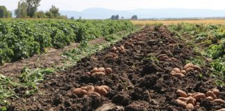 Punjab Cabinet approves tissue culture-based Seed Potato Bill 2020