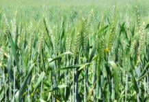 Heat-tolerant wheat varieties
