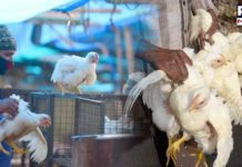 Avian Influenza: 11,200 birds culled on first day of culling operation in Derabassi