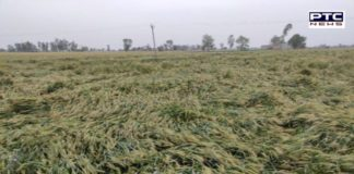 Rain in Punjab । Heavy damage to rabi crops after rainfall in Punjab, Haryana