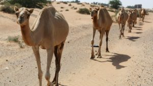 Coronavirus : UAE scientists reserach 'immune' camels with COVID-19 to study virus antibodies
