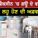 Bharat Biotech uses 'calf serum' to make Covaxin ? Experts call it 'standard practice'