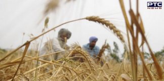 Punjab: Unseasonal rains, hailstorms damage farmers' crops